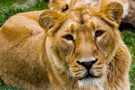 captivity: Loneliness sadness lioness in captivity