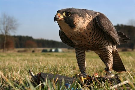 Close up of a falcon during a training with a lure