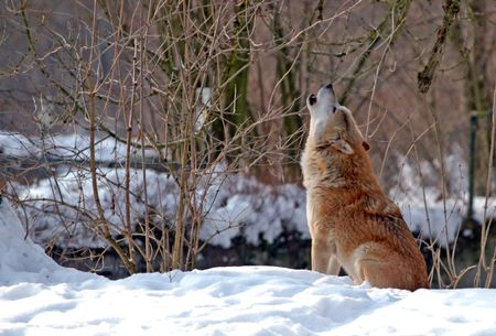 europe closeup: howling wolf in winter scenery