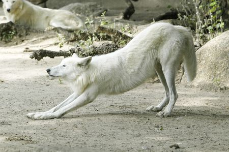 white wolf doing the morning gym