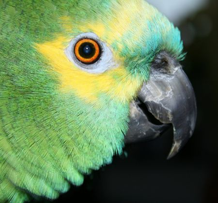portrait of a blue fronted amazon