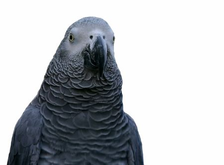 Portrait of a gray parrot on white background, isolated Stock Photo