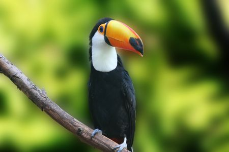 Close up of a beautiful tucan, sitting on a branch Stock Photo