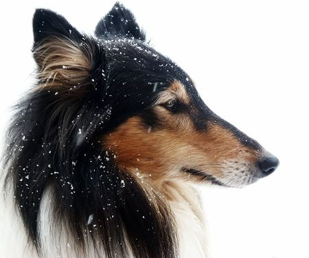 Tri-Color Collie covert with some snowflakes