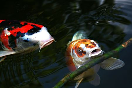 tow koi carps playing with a branch