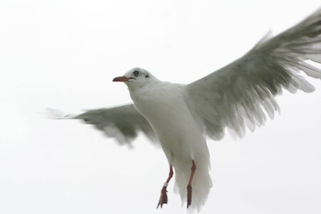 Close up of a landing seagull