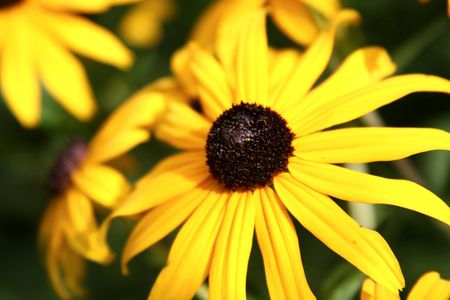 close up of a bright yellow coneflower