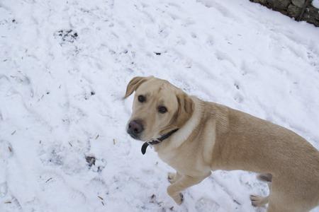 Yellow labrador retriever dog in the snow. Banco de Imagens