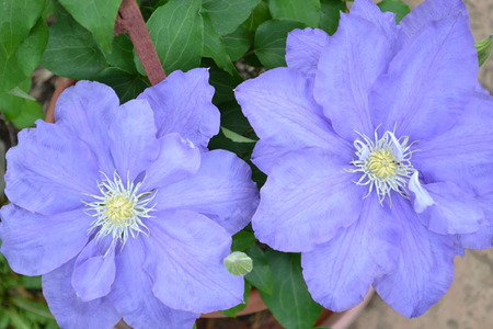 Two big purple flowers in a pot Stock Photo