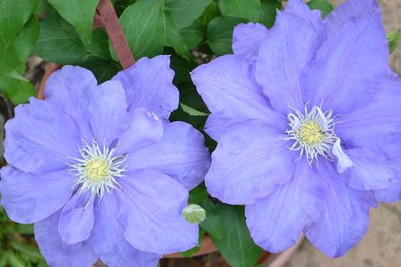 purple flowers: Two big purple flowers in a pot Stock Photo
