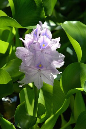 Summer hyacinth in the pond