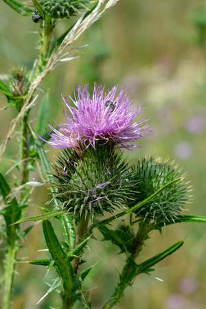 Blooming milk thistle in the park close up