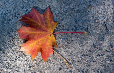 Red Maple Leaf lies on the road in sunny day