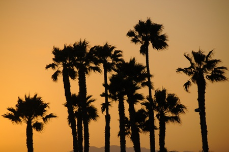 Palm Trees, Santa Monica Beach, California photo