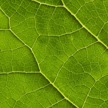 interesting biological texture of the leaf illuminated from the inside