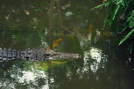 crocodile swims in the water