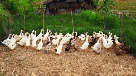 a flock of geese on a farm