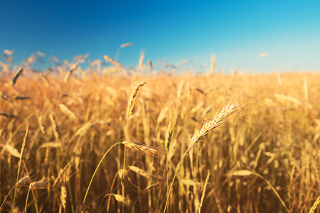 Ears of wheat growing in the field in the sun Stock Photo