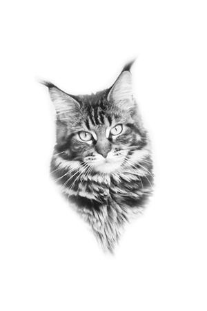 Black and white photo cat face. Maine Coon.
