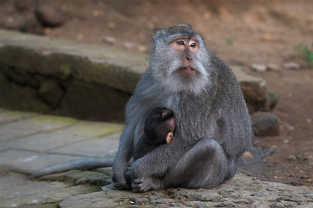 Monkey with cub. Monkey forest in Indonesia