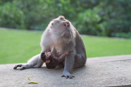 Macaque feeding her baby. Monkey forest in Indonesia