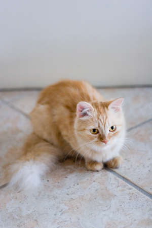 rufous: Rufous cat lying on ceramic tile floor and look forward