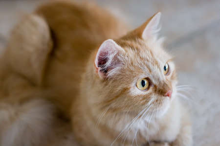 laying forward: Rufous cat lying on ceramic tile floor and look forward Stock Photo