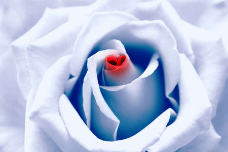 Love birth. Light blue toned rose with red heart symbol from petal in center. Look like  photo