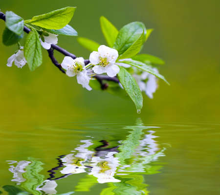 Tree branch with cherry flowers reflecting in the water, shallow focus