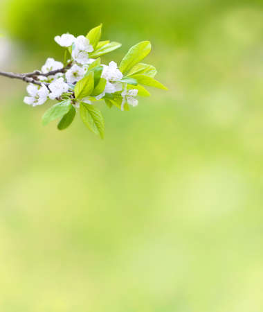 Tree branch with cherry flowers over natural green background Stock Photo