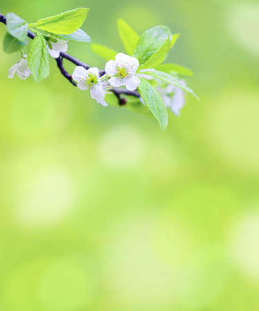 Tree branch with cherry flowers over natural green background Zdjęcie Seryjne