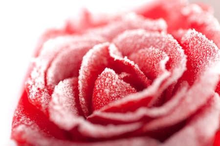 Frozen red rose in white frost. Rose petals in small ice crystals surrounding the flower