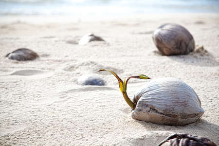 Coconuts on a lonely beach on island Koh Kood. Thailand photo