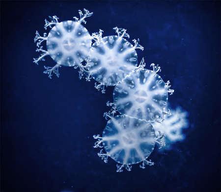 blubber: Jellyfish (medusa) in the dark water with blue fluorescent lights in an aquarium at Siam Ocean World, Bangkok. Thailand.