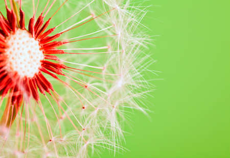 blowing wind: Dandelion isolated over green background