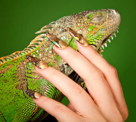tenderly: Female hand with beautiful manicure in natural style tenderly touches iguana  Macro shot over green background