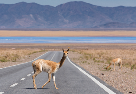 Vicuna on the road Stock Photo