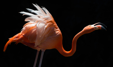 Flamingo on black background Stock Photo