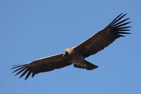 Portrait of a young female andean condor flying Stock Photo
