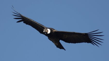 Portrait of an old condor flying and turning with open wings, front view