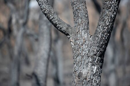 After the fire, grey trees and dead. Taken in La Pampa, Argentina.