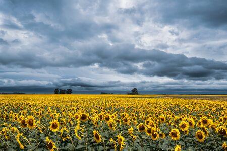 Sunflower plantation in a typical Argentine farm under a stormy sky Zdjęcie Seryjne
