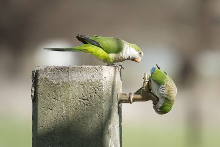 Two parrots trying to get a drop of water Stock Photo