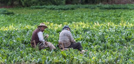 Jujuy, Argentina - March 03 2017: Local farmers havesting chard in a valley of Jujuy province.