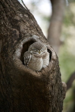owlet: Baby spotted owlet in a tree