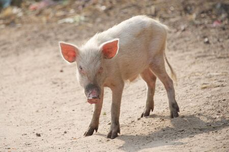trotters: Pink piglet