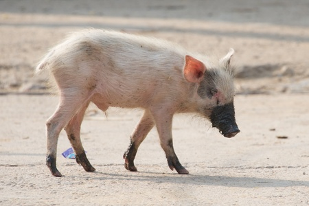 snout: Pink piglet with muddy feet and snout Stock Photo