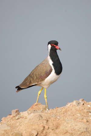 lapwing: Red-wattled lapwing on rocks