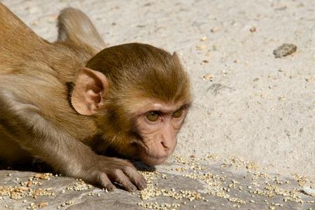 Rhesus macaque crouching Stock Photo