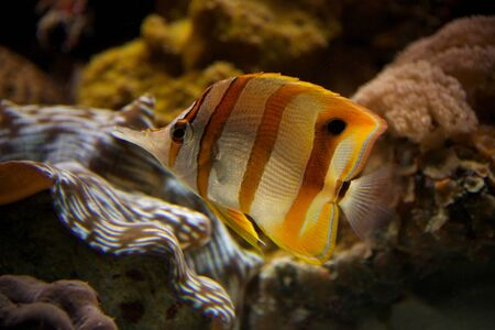Copperband butterflyfish swimming upwards through coral reef photo